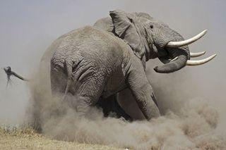 Combat-l-elephant-356317